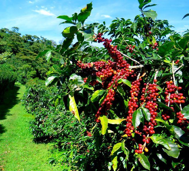 Kona Coffee Beans